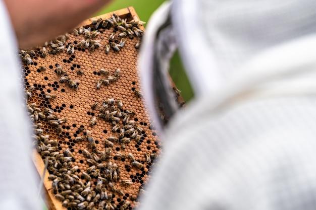양봉가는 양봉에서 밀랍 프레임에 있는 꿀벌을 검사합니다.