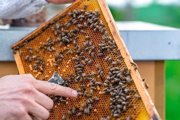 養蜂家は養蜂のワックスフレームでミツバチを検査します