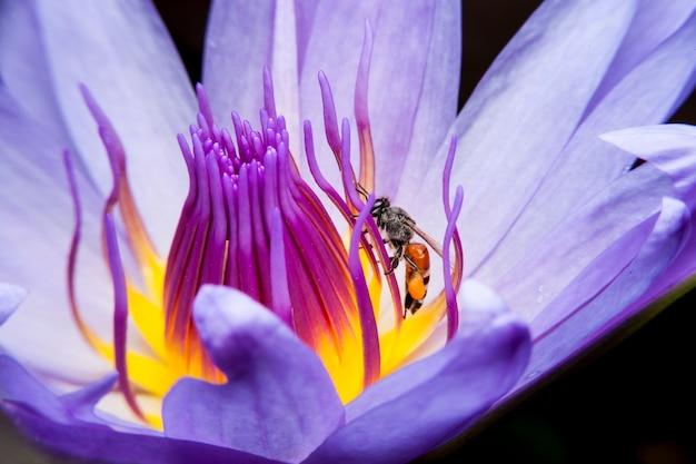 꿀벌과 아름다운 연꽃.