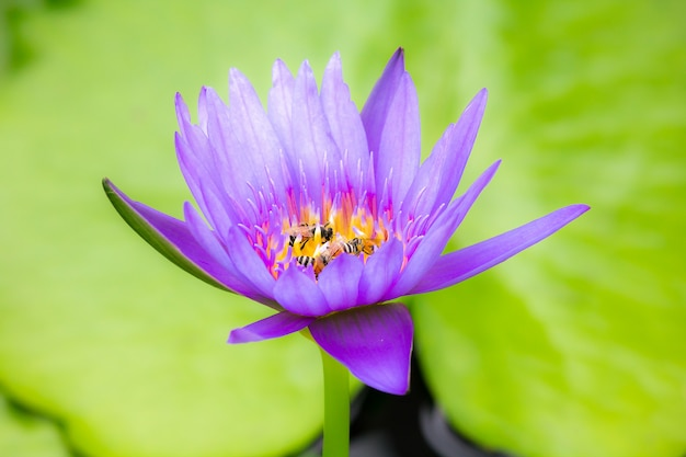 The bees are in the purple lotus bloom, sucking the nectar, pollen