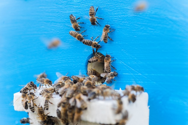 Пчелы у входа в старый улей. пчелы возвращаются из медосбора в желтый улей