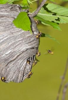 야생에서 새로운 벌집을 짓는 꿀벌