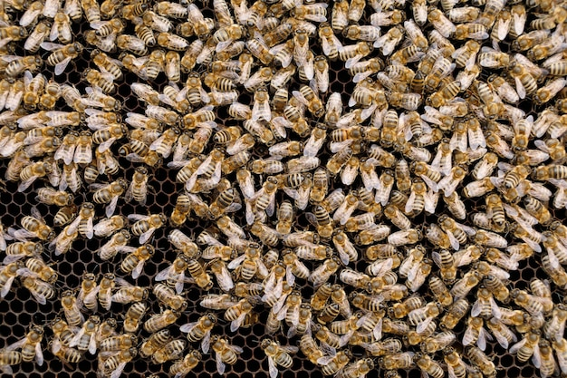 Пчелы крупным планом. в улье много пчел.