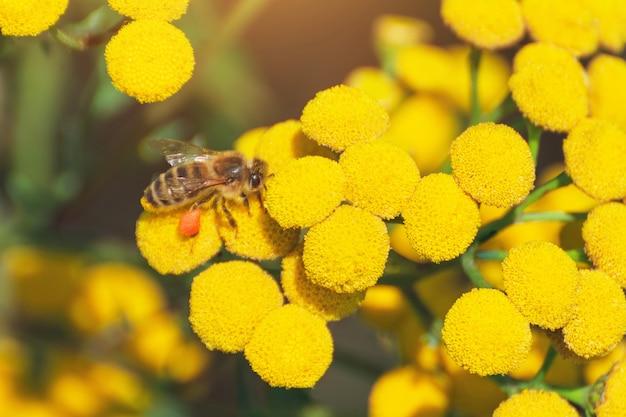 꿀벌은 화창한 날 꿀을 모으고 야생화를 수분시킵니다.