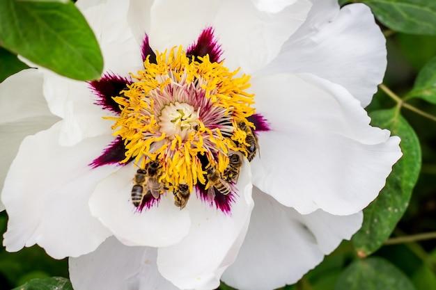 Пчелы собирают нектар с цветка древовидного пиона в парке в весенний или летний день