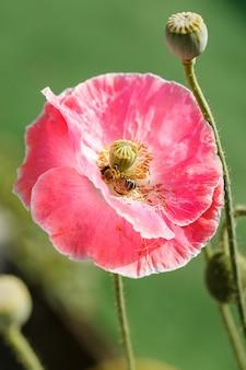 꿀벌은 papaver rhoeas에서 꽃가루를 수집합니다. 양귀비 로에아스, 일반, 옥수수, 플랑드르, 붉은 양귀비, 옥수수 장미, 들판은 꽃 식물 양귀비 가족인 양귀비과입니다. 양귀비 꽃에 꿀벌