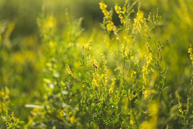 Bees collect pollen from wild plants melilotus, known as melilot, sweet clover, and kumoniga, sweet-clover disease lat.