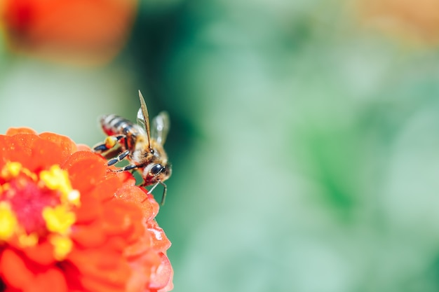 Bees collecting nectar from red flower macro close up