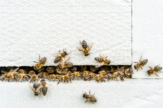 하얀 벌통에 들어가는 꿀벌들
