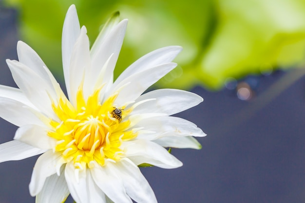 Bees feed on pollen in a white flower