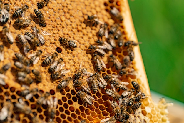 Bees fill honeycomb with honey in a wooden frame in the street
