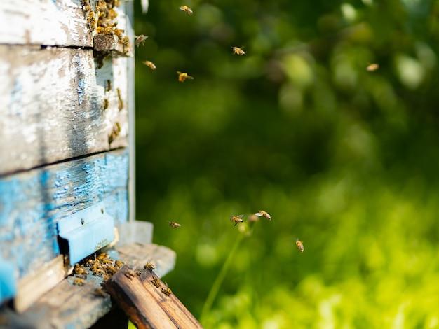 꿀벌이 벌집 입구로 날아갑니다. 벌집 주위를 날아다니는 꿀벌들. 양봉 개념입니다. 공간을 복사합니다. 선택적 초점