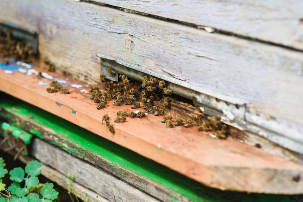ミツバチが巣箱の入り口に飛び込み、花粉を運んでいます。フロントハイブ入り口のミツバチをクローズアップ。蜂が巣箱に飛んでいます。ミツバチのドローンがハイブに入ります。