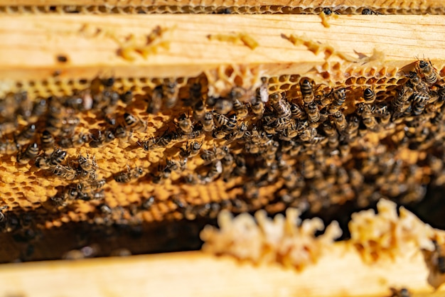 Bees on honeycomb in apiary