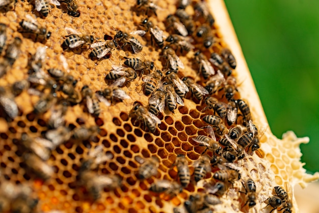 Bees on honeycomb. working bees on honey cells. apiary concept.