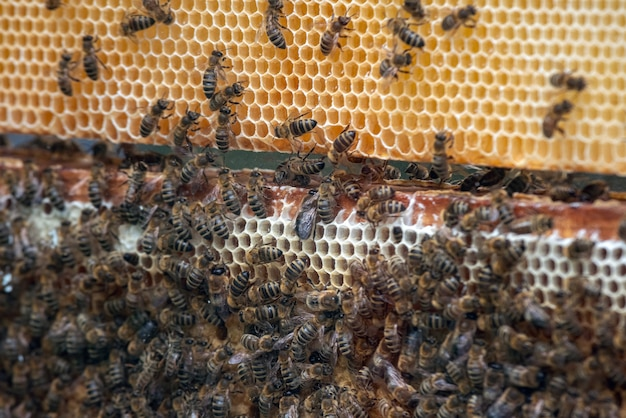 Bees on honeycombs with honey.