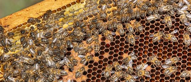 벌꿀을 생산하는 빗 속의 꿀벌