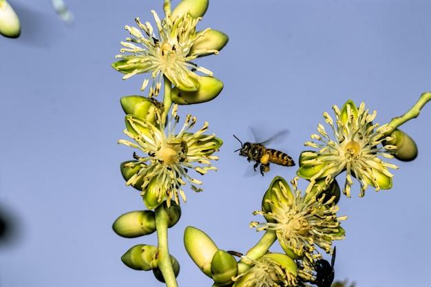 ヤシの花のミツバチ