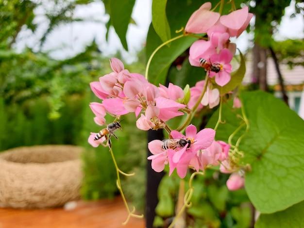 정원에서 분홍색 멕시코 덩굴 꽃에 꿀벌