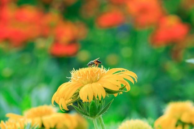 자연 속에서 노란 꽃에 꿀벌이 피고 있습니다.