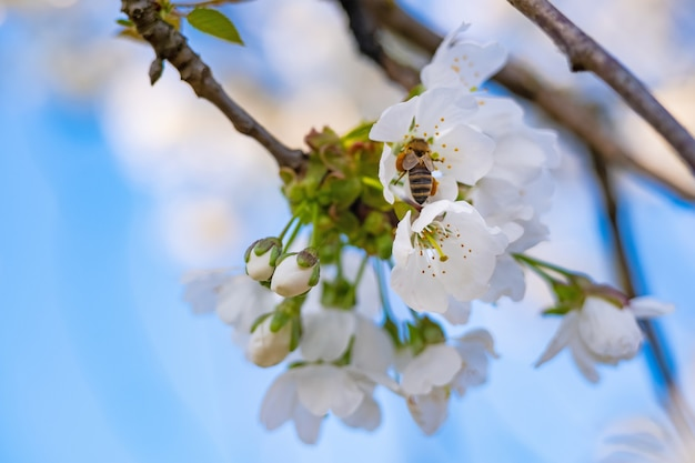 Bees pollinate apple blossom in the garden in spring.