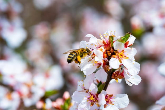 꿀벌은 봄에 정원에서 사과 꽃을 수분합니다.