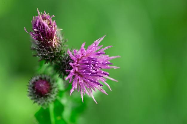 Пчелы, опыляющие цветы чертополоха летом, утром