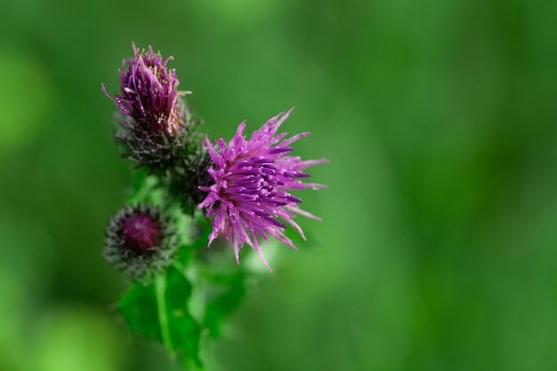 Пчелы, опыляющие цветы чертополоха в летнем макросе