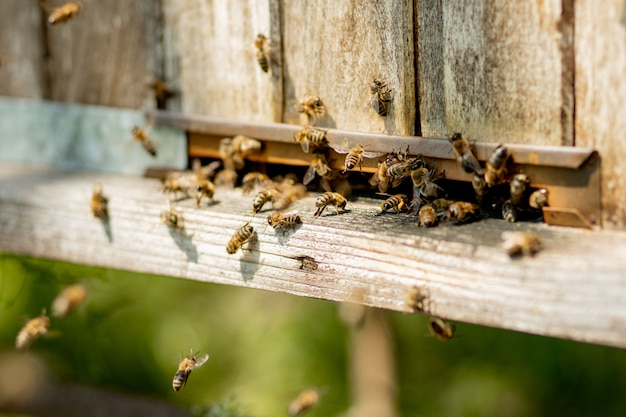 Bees returning to bee hive and entering beehive with collected floral nectar and flower pollen. swarm of bees collecting nectar from flowers. healthy organic farm honey