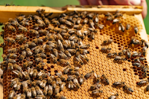 Bees sit on a wooden frame of honeycomb in the summer/ close-up