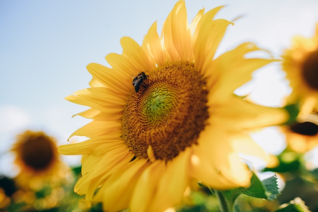 Bees sitting on a beautiful yellow sunflower