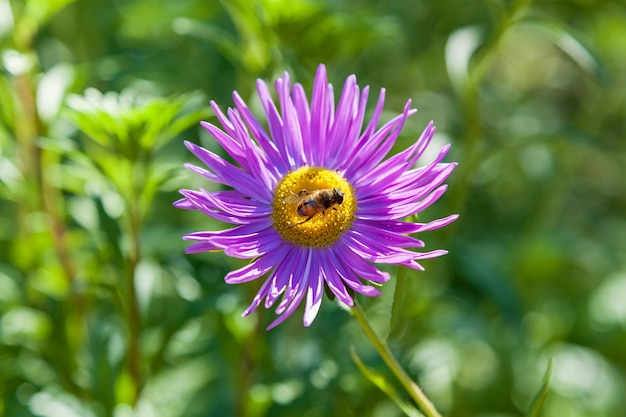 Bees store honey dew from pink chrysanthemum flower in garden bee on flower collecting nectar