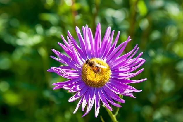 꿀벌은 정원에 있는 분홍색 국화 꽃에서 꿀 이슬을 저장합니다. 꿀을 수집하는 꽃에 꿀벌입니다. 보라색 애 스터에 꿀벌