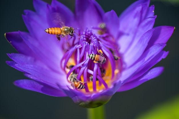 Bees takes nectar from the beautiful purple waterlily or lotus flower. macro picture of bee and the flower.
