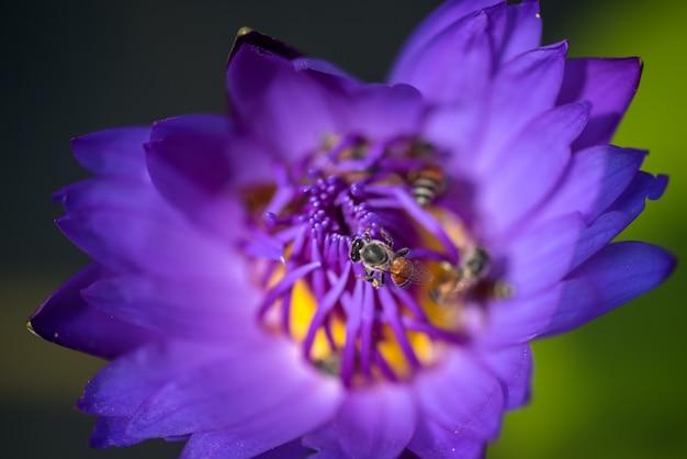 ミツバチは美しい紫色のスイレンやハスの花から蜜を取ります。蜂と花のマクロ写真。