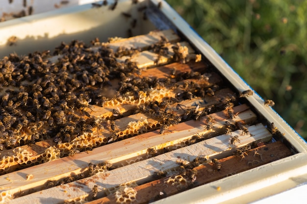 Bees on top bar wooden frame in hive with an open cover. examination of honey bees in summer during honey harvest.