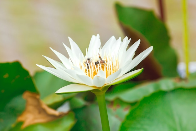 Bees and white lotus flowers are blooming