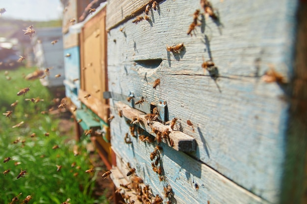 Bees on a wooden hive