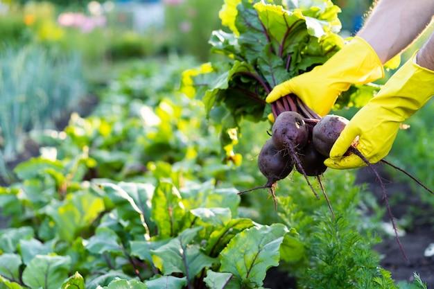 농부의 손에 있는 사탕무 수확, 원예 및 농업, 정원에서 파낸 환경 친화적인 제품.