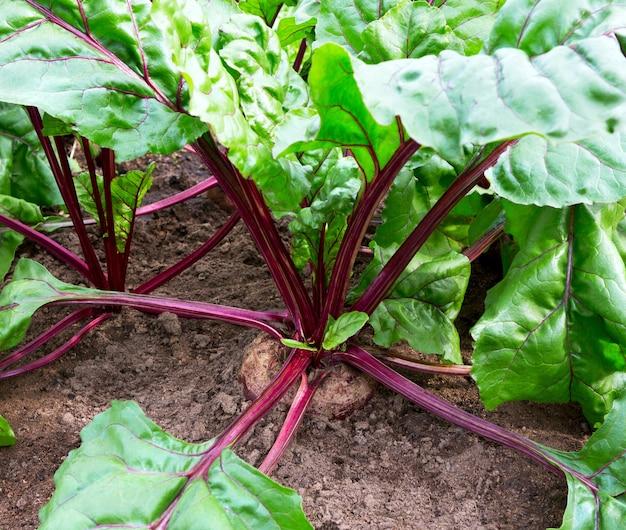 야채 정원에서 사탕 무 우를 닫습니다. 농장에서 자라는 유기농 비트 뿌리.
