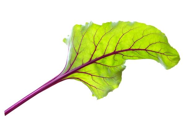 사탕무 잎. 비트 뿌리 잎, 신선한 비트 잎 흰색 절연.