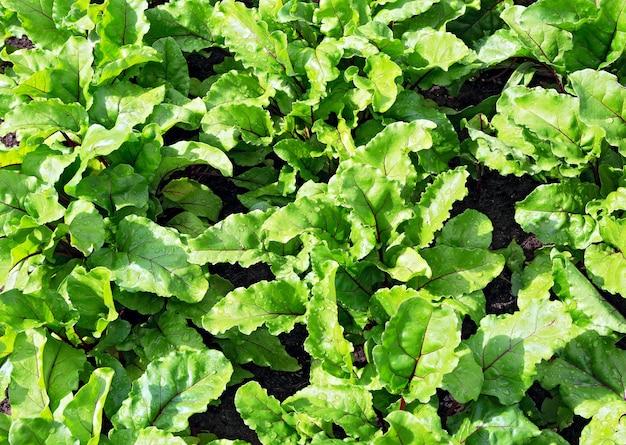 사탕무 잎. 근대의 뿌리 잎, 신선한 사탕무 잎 우리 배경. 필드에 사탕 무 우 녹색 잎입니다. 사탕무는 유기농 농장에서 성장을 남깁니다.