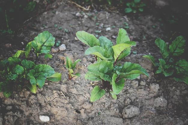 家庭菜園で育つビート植物
