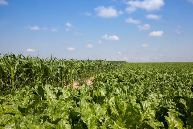 Ботва свеклы для производства сахара, зеленые части растения сахарной свеклы в летний сезон на сельскохозяйственном поле