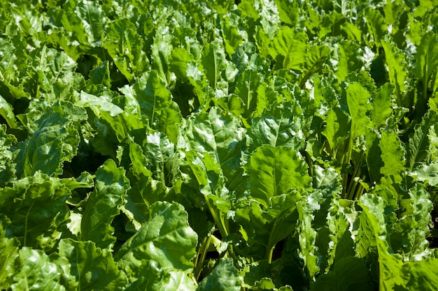 Beet tops for sugar production