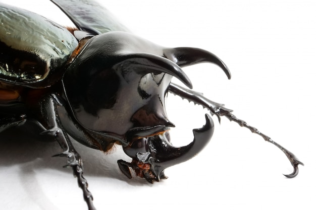 Beetle chalcosoma caucasus on white background