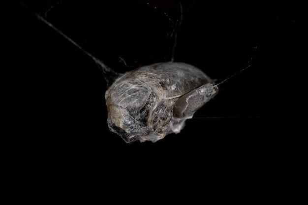 비단에 갇힌 갈색 과부거미가 잡아먹는 딱정벌레목 딱정벌레