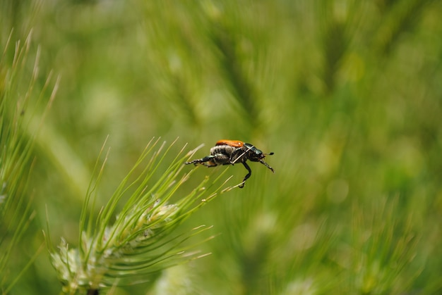 Beetle perched on the top of a blade of grass