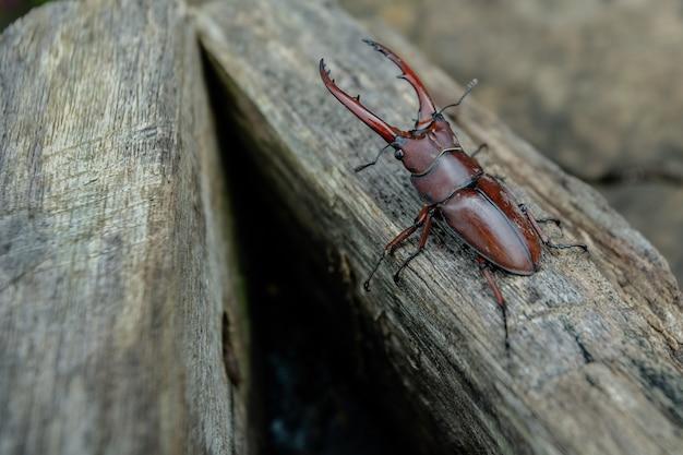 Beetle pliers on wood