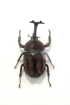 Beetle with a hammer on the nose
